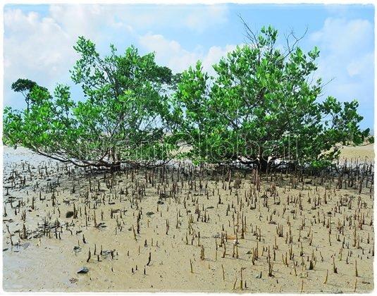 マヤプシキ|日本のマングローブ植物|鹿児島&沖縄マングローブ探検!
